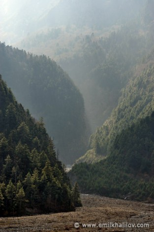 Conifer forest near Pisang